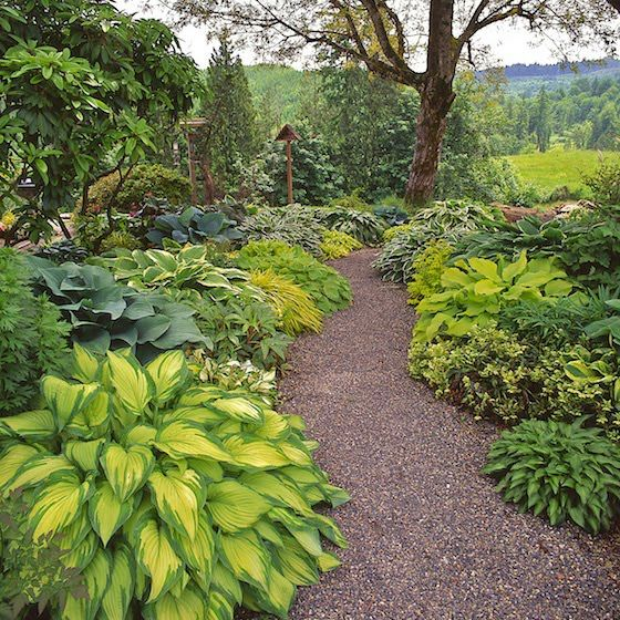 Hostas: These plants make great borders in semi shady areas and grow in zones 3-9. Hostas like rich and moist organic soils, and they like morning sun and afternoon shade. Hostas are heavy feeders and fertilizer should be applied in early spring and again in mid-summer.: Garden Ideas, Shade Plant, Garden Hostas, Outdoor, Shade Garden, Backyard Garden