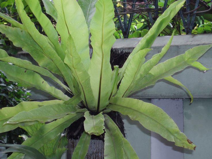 Pohon Kadaka