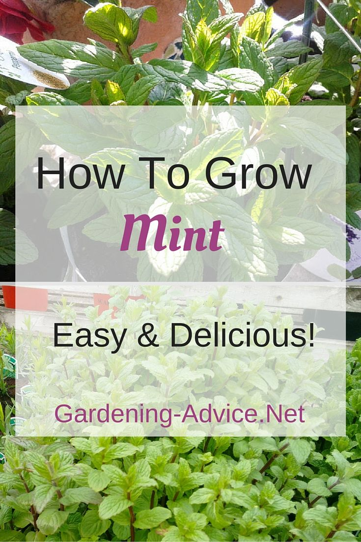 Chia pet herb garden - Best 25 Growing Mint Ideas On Pinterest Planting Lavender Outdoors Rosemary Plant And Mosquito Plants