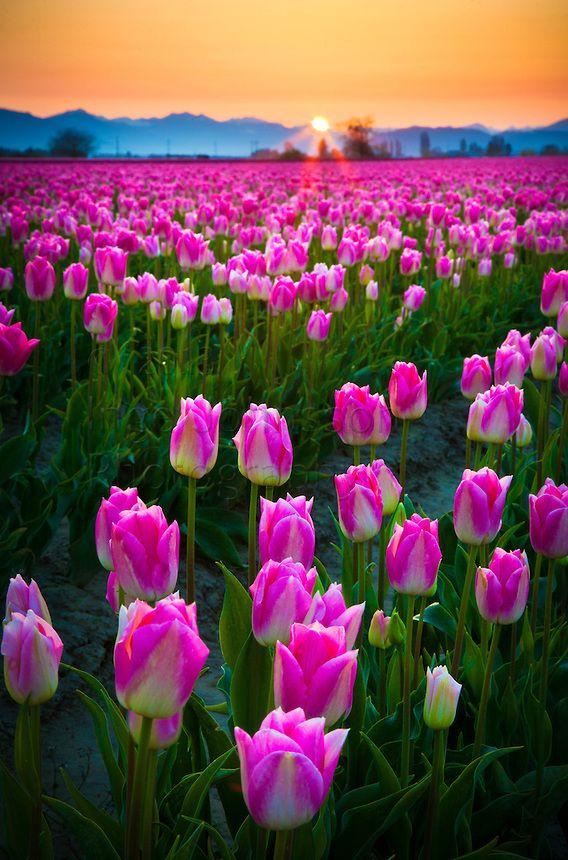 #Tulips in Skagit Valley, Washington #paysage
