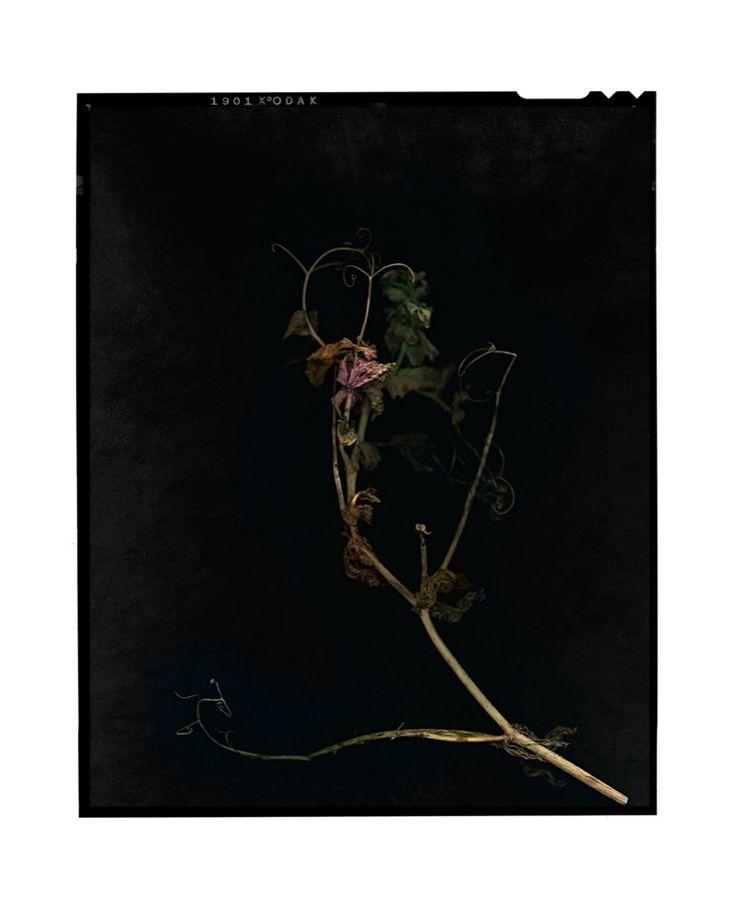 Pea Flower by Jeff Moorfoot Type C print 81 x 102