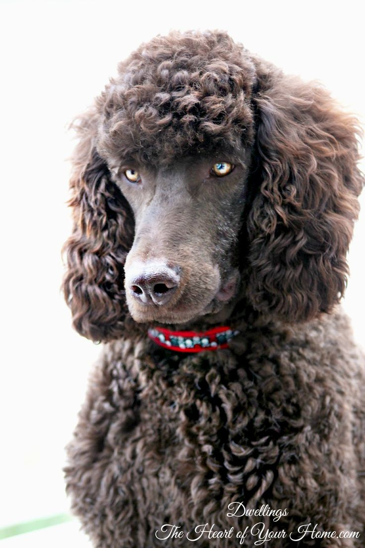 Standard poodle haircuts or of unless soft haircuts standard poodle - Dog Days Of Summer