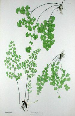 Nature Printed Fern