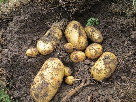 Выращивание картофеля под соломой (Growing potatoes under straw) - YouTube