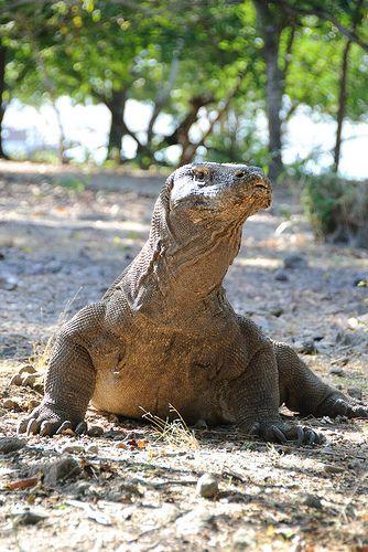 ˚Komodo Dragon - Komodo Island