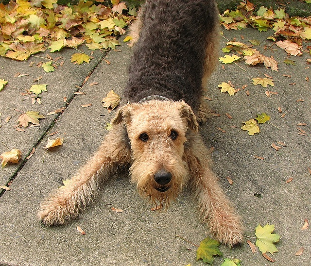 Airedale Terrier - They do love to play