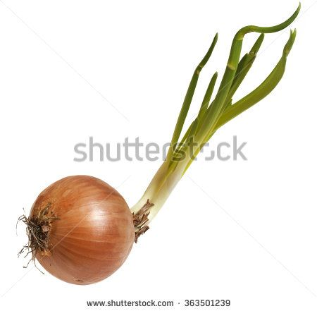 Sprouted onion root isolated on white background. Koronczi