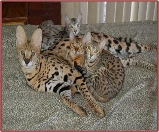 How Big Can A Savannah Cat Get