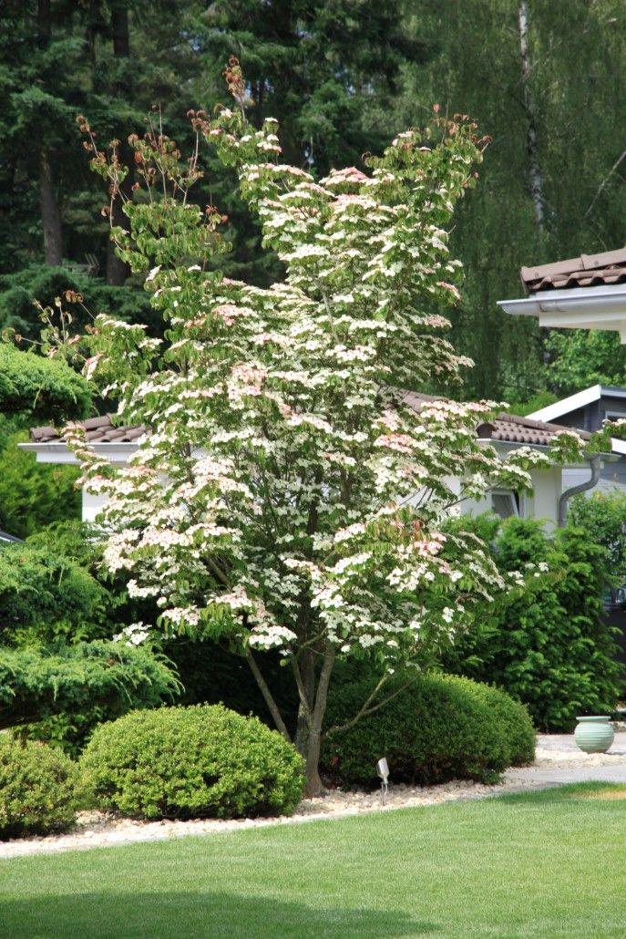 Blüten-Hartriegel (Cornus florida)