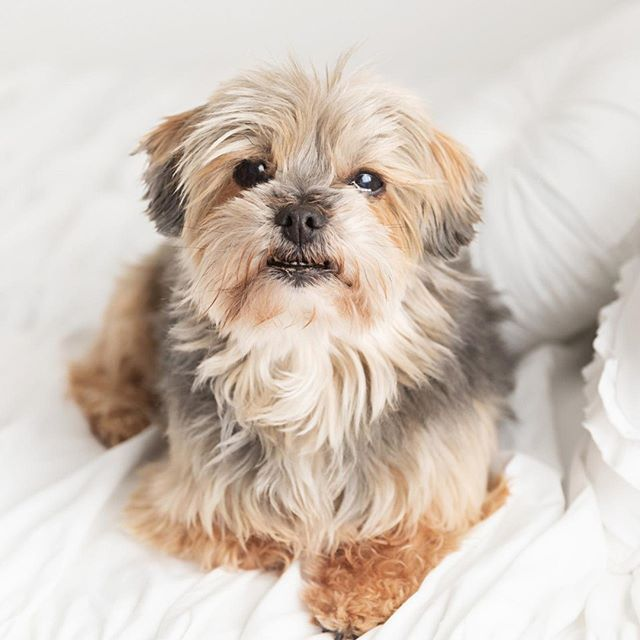 This Is Milkyway 3 He Is Almost 12 Years Old 3 He Is A Shih Tzu