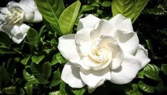 A gardenia é uma flor muito cheirosa nativa da região tropical do sul da Ásia, Austrália e África. Seu nome foi dado em homenagem ao botânico escocês Alexander Garden. Por juntar beleza e uma ótimo fragância, ela é comumente usada em cerimônias e festas de casamento.