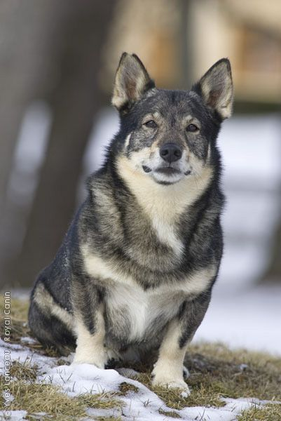 I didn't even know these existed... Swedish Vallhund. Basically a wolf corgi, haha