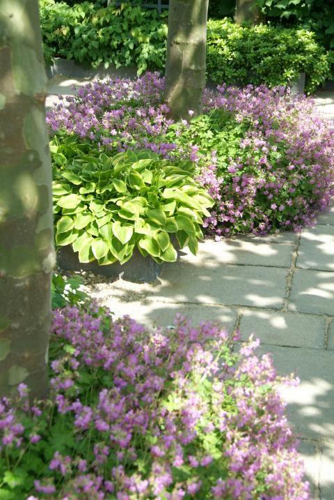 Blühender Storchschnabel neben einem Gartenweg.