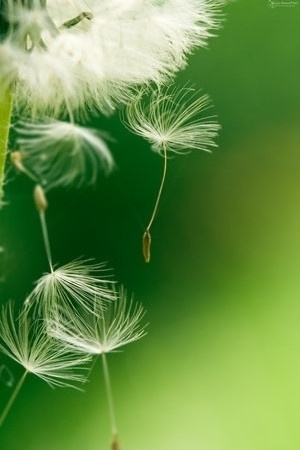 Dandelions= wishes and dreams