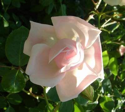 Endlich, New Dawn hat das Knospenstadium verlassen und steht in voller Pracht da.     Ich habe sie für meinen Rosenobelisk ausgesucht, weil sie die Eigenschaften eines Ramblers besitzt, dabei aber öfter blüht und dieses wunderbare Porzellanrosa hat. Ein einmalblühender Rambler kam für mich trotz aller Schönheit dieser üppigen Rosen nicht in Betracht, weil ich eben einen kleinen Garten habe ...