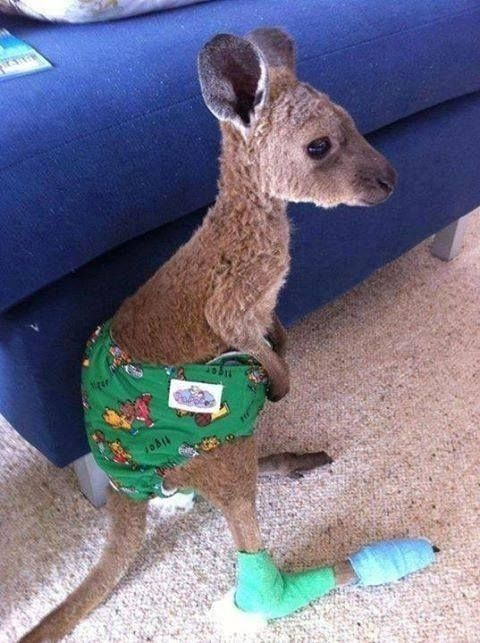 The cutie with the broken leg. | 21 Kangaroos Having A Way Worse Day Than You