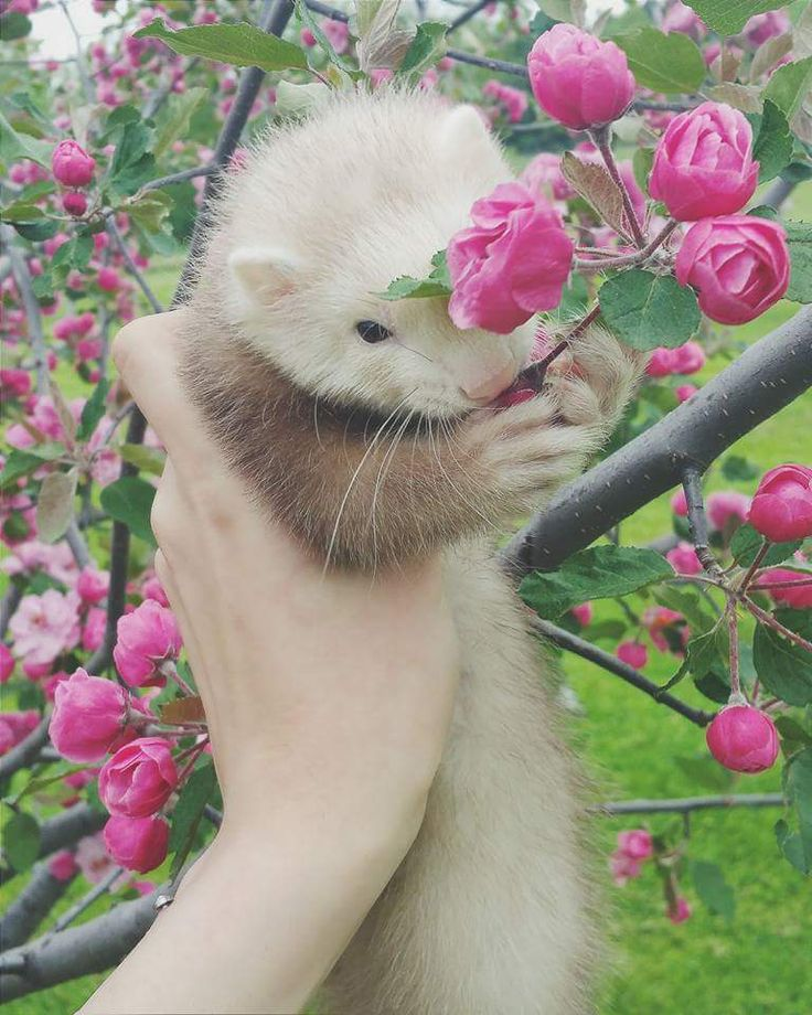Photo credit: Sami Schwirtz. This ferret's name is Toby.