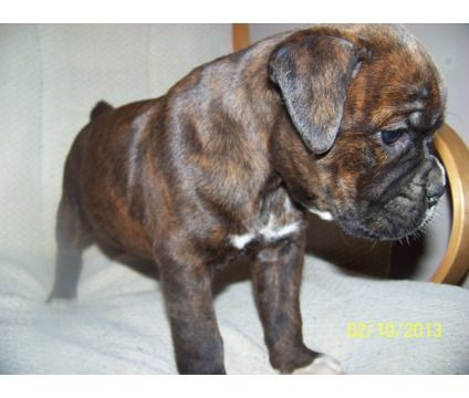 Brindle Boxer Puppies | Brindle boxer Puppies | Female Boxer Puppy For Sale in Cicero IL ...