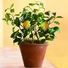 Pitten zaaien; zelf avocadoplanten, citroenboompjes en passievruchten kweken.... Snijd een citroen doormidden en verwijder de pitjes. Laat de pitjes een nacht in water weken en plant ze dan in een bloempot met potgrond (ongeveer 5 cm diep). Giet er flink veel water op en zorg ervoor dat de pot op een warme plek komt te staan. De pitjes hebben namelijk een temperatuur van circa 25 graden nodig om te ontkiemen.