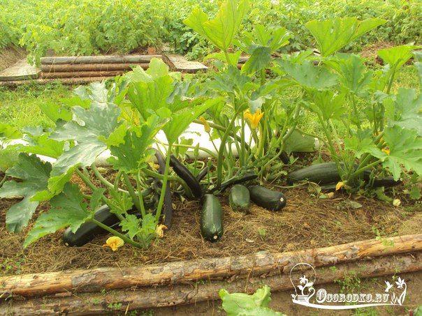 Агротехника выращивания кабачка - Огородко