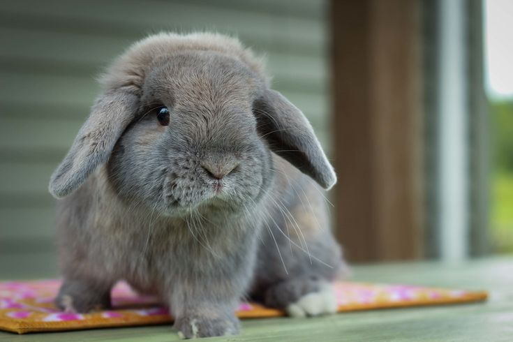 Hook's Hollands - Holland Lop Bucks - Ohio Holland Lops