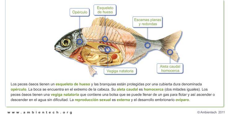 Caracter sticas de los peces for La reproduccion de los peces