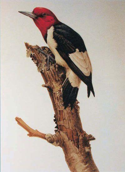 Red-headed Woodpecker by J. Fenwick Lansdowne (1937-2008)