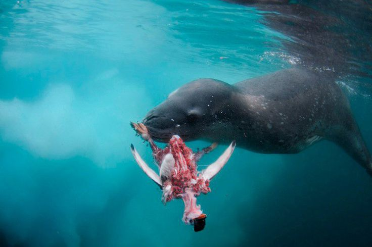 Diving with leopard seals