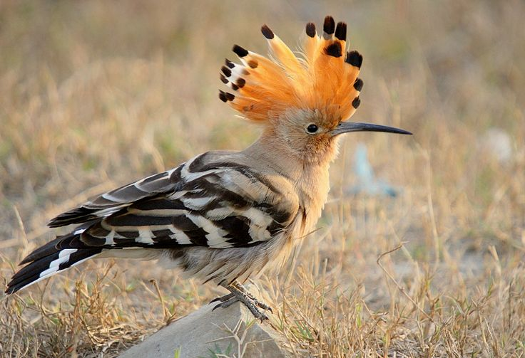 Eurasian Hoopoe  http://blogs.crikey.com.au/northern/2011/11/14/bird-of-the-week-a-eurasian-hoopoe-pops-in-for-a-beer-at-the-roebuck-plains-roadhouse/