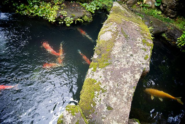 Stone bridge in a japanese garden over a pond full of koi for Stone koi pond