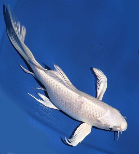 Live koi fish 7 white platinum ogon butterfly long fin for Fish tail fin