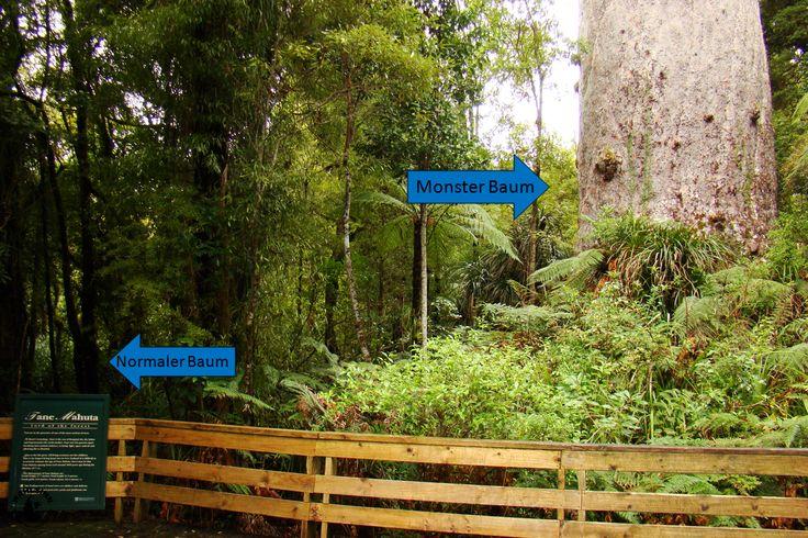 Neuseeland - Kauribaum rechts, Normaler Baum links