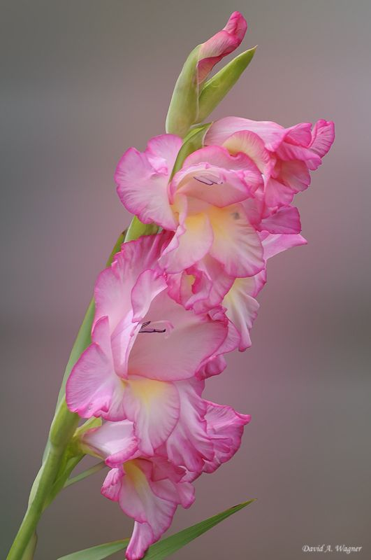 how to get snapdragons to bloom