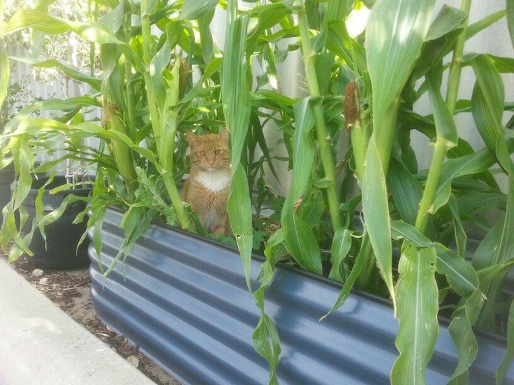 Boys in the corn
