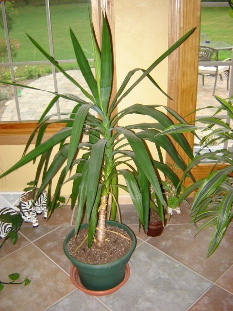Yucca Plant Care Houseplant Care Tips Starting To