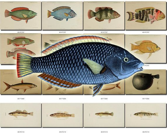 FISHES-51 Collection of 90 vintage images Blue Wrasse Moorish