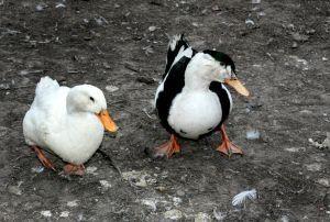 How to Raise Call Ducks