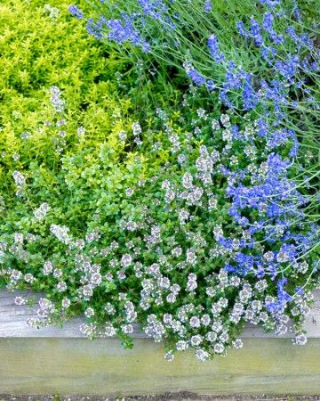 Lavender and Thyme - Lavender (Lavandula angustifolia) and two types of thyme (Thymus serphyllum 'Aurea' and Thymus vulgaris) make a colorful, useful, and fragrant groundcover.
