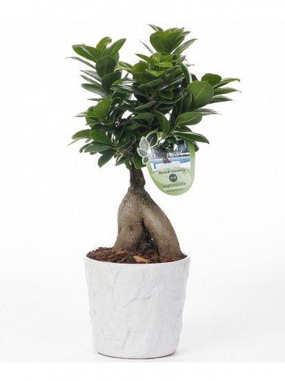 FICUS BONSAI GINSENG 250 GR MAYEN, pianta resistente e perfetta come idea bomboniera #wedding #bonsai