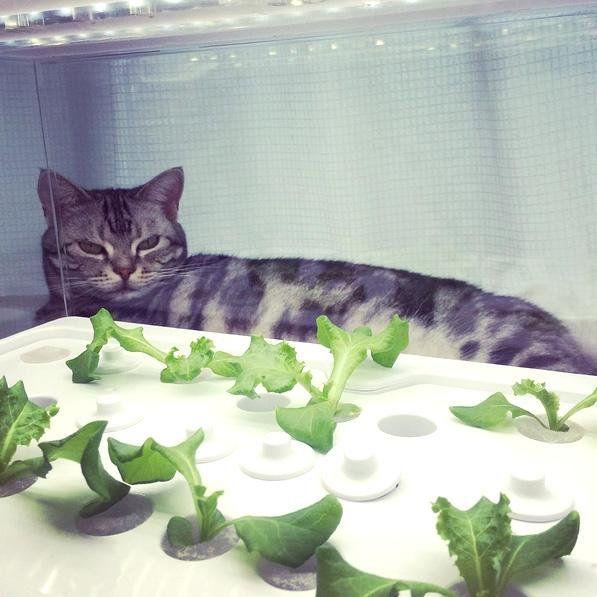 Strażnik sałaty. #koteł #GreenFarm #GrowYourOwn