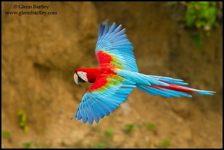 Red and Green Macaw by Glenn Bartley