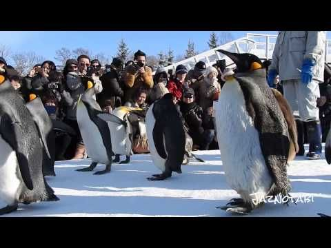 Penguin Parade at Asahiyama Zoo「旭山動物園」 - YouTube