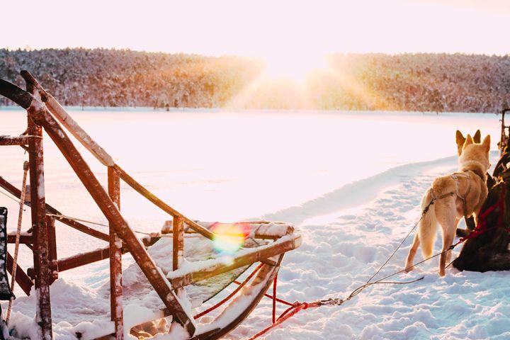 Hundeschlitten-Fahren in Lappland