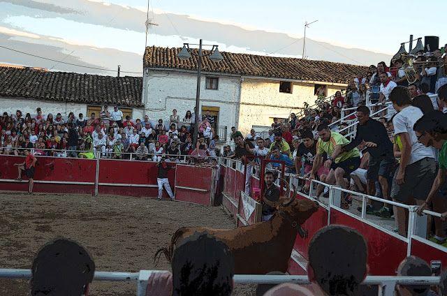 Santacara: Vacas Merino Marcilla - Fiestas de Santacara Año 2...