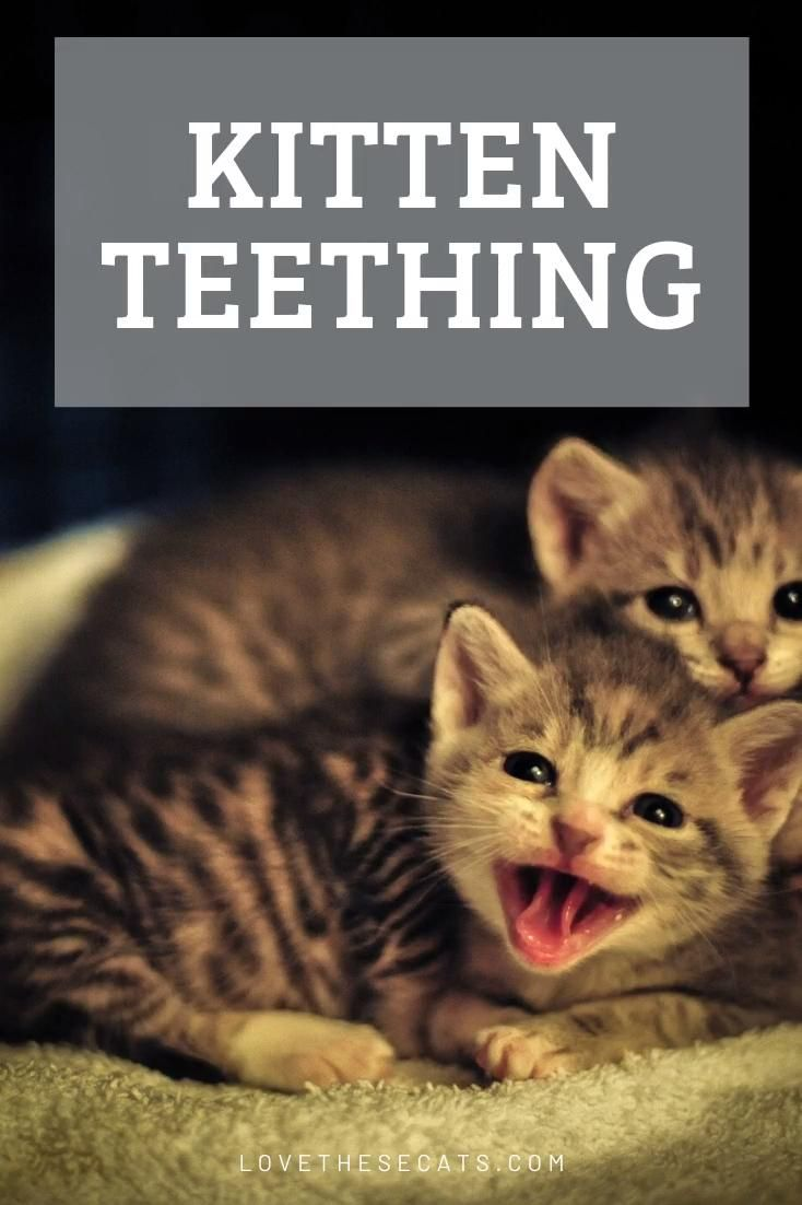 Kitten Baby Teeth Teething Video In 2020 Pet Care Cats Baby Kittens Kitten Care