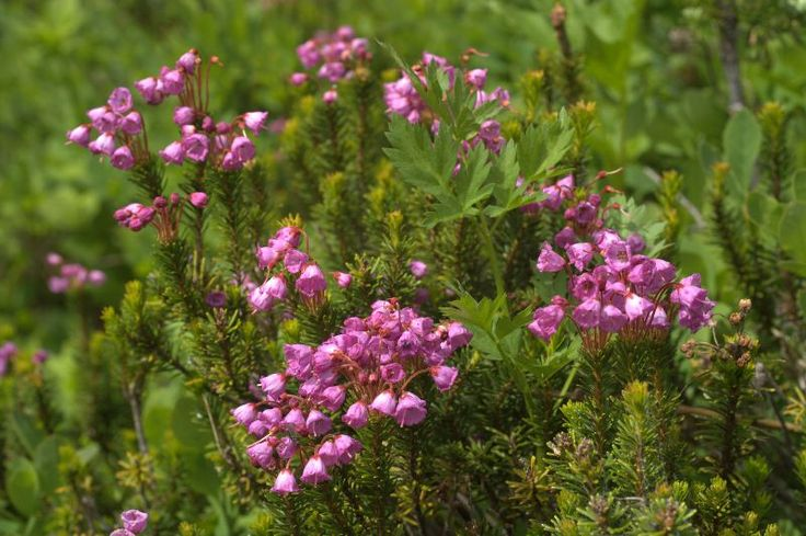 Flowering Shrubs | Flowering Shrubs and Trees Mountain Heather Phyllodoce photo ...