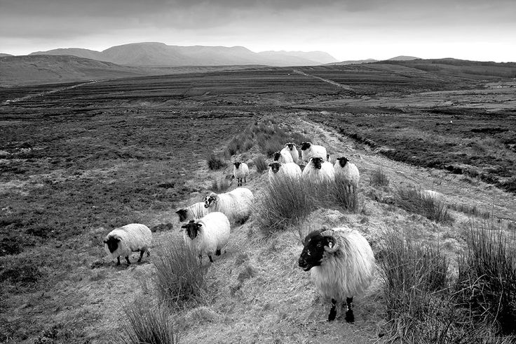 mayo sheep west of ireland. visit my web site www.lhandal.com