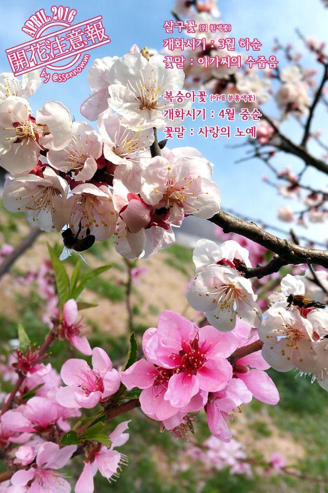 ▶개화주의보(050) 복숭아꽃 살구꽃 → http://fb.com/blooming.news/photos/1714437498837090