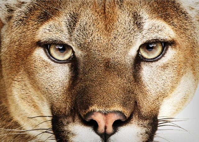 California Mountain Lion | Mountain-Lion-OS-X