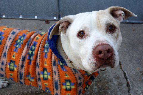 DIJON - A1098013 - - Manhattan  Please Share:TO BE DESTROYED 12/01/16 **AMAZING AVERAGE RATING!** A volunteer writes: My first walk of the day and I'm already in love with this sweet boy. So quiet in his kennel, his inviting soft face is welcoming. He's leashed easily, and out we go. Sweet and placid on leash, his first stop is taking care of his 'business', and we're off to the park. Dijon is a 'stop and smell the roses' kind of a